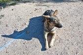 A dog warms up under a sun — Stock Photo