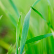 Royalty-Free Stock Photo: Grass background - selective focus.