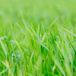 Grass background - selective focus. - Stock Photo