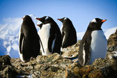 Penguins on rock — Stock Photo