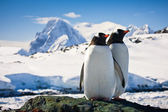 два пингвина — Стоковое фото