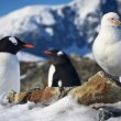 Polar birds — Stock Photo
