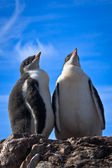 Two identical penguins — Stock Photo