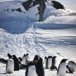 A large group of penguins — Foto de Stock
