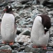 Stock Photo: Two identical penguins