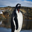 Penguin on the rocks — Stock Photo #4165352