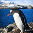 Penguin on the rocks — Stock Photo #4199782