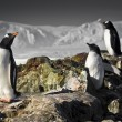 Three penguins — Stock Photo
