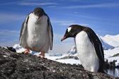 Två pingviner vilar — Stockfoto