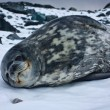 The grey seal - Stok fotoğraf