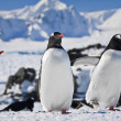 Three penguins — Stockfoto