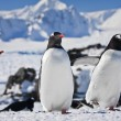 Stock Photo: Three penguins