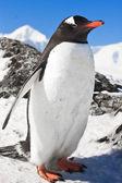 Pingvin på klipporna — Stockfoto
