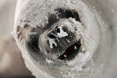 Angry seal — Stock Photo
