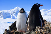 Two penguins — Stock Photo