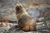 The brown seal — Stock Photo