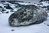 The grey seal — Stock Photo