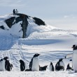 A large group of penguins — Photo