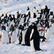 A large group of penguins — Stock Photo