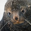 Sad Fur Seal — Stock Photo
