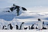 Eine große gruppe von pinguinen — Stockfoto