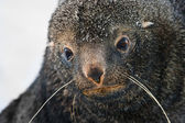 Sad Fur Seal — Stock Photo