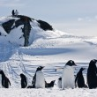 Stock Photo: A large group of penguins