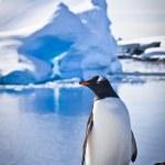 Penguin on the rocks — Stock Photo #4314952