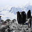 Stock Photo: Penguins on rock