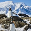 Penguins on rock — Stock Photo #4339814
