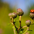 Little ladybug — Stock Photo #4380766