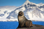 Brown seal — Stockfoto