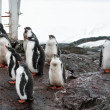 Group of penguins — Stock Photo #4435362