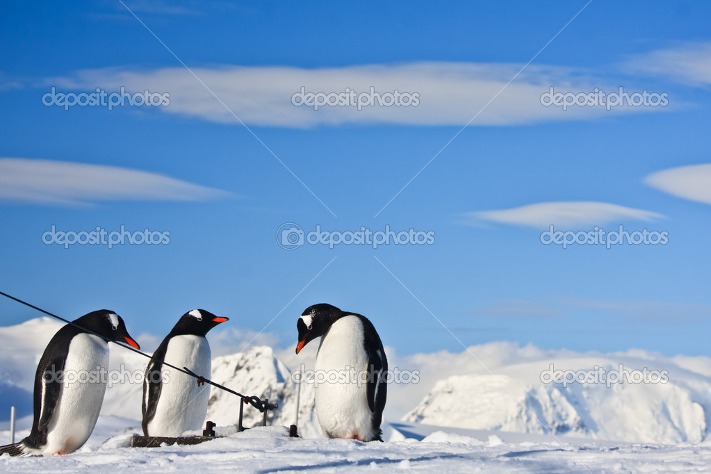 Three identical penguins resting on the top of the hill in Antarctica — Stock Photo #4435419