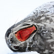 Screaming Seal - Stock Photo