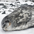 The grey seal — Stock Photo