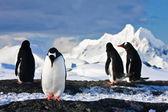 пингвины на скале в антарктике — Стоковое фото
