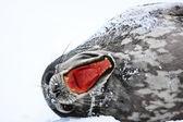 Screaming Seal — Stock Photo