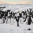 A large group of penguins — 图库照片