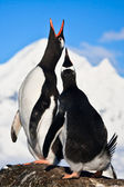 Singing penguins — Stock Photo