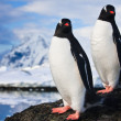 Penguins dreaming on a rock — Stock Photo #4746716