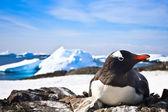 Black and white penguin — Stock Photo