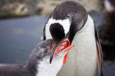 2 つのペンギン — ストック写真