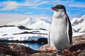 Penguin on the rocks — Stock Photo