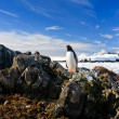 Penguin protects its nest — Stockfoto