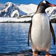 Penguin in Antarctica — Stock Photo
