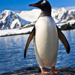 Penguin in Antarctica — Stock Photo #4798924
