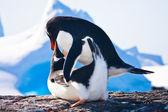 Pinguins na antártida — Foto Stock