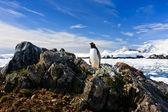 Pinguino protegge il suo nido — Foto Stock