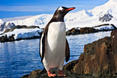 Pinguin in der antarktis — Stockfoto